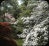 view [Henry Francis du Pont Winterthur Museum Gardens]: dogwoods and other flowering trees in the woods, forming a background to the wild flower garden. digital asset: [Henry Francis du Pont Winterthur Museum Gardens]: dogwoods and other flowering trees in the woods, forming a background to the wild flower garden.: [between 1914 and 1949?]