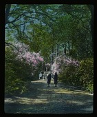 view [Miscellaneous Sites in England, Series 1]: an unidentified woodland garden with rhododendrons and azaleas. digital asset: [Miscellaneous Sites in England, Series 1]: an unidentified woodland garden with rhododendrons and azaleas.: [between 1925 and 1935]