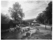 view [Miscellaneous Sites in Shere, Surrey, England, and Vicinity, Series 1]: cattle in the River Tillingbourne downstream from the Gomshall Mill. digital asset: [Miscellaneous Sites in Shere, Surrey, England, and Vicinity, Series 1] [glass negative]: cattle in the River Tillingbourne downstream from the Gomshall Mill.