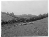 view [Miscellaneous Sites in Branscombe, Devon, England]: sheep in an unidentified location in Branscombe. digital asset: [Miscellaneous Sites in Branscombe, Devon, England] [glass negative]: sheep in an unidentified location in Branscombe.