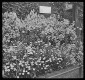 view [Hampton Court Palace]: a garden border backed by a brick wall. digital asset: [Hampton Court Palace] [lantern slide]: a garden border backed by a brick wall.