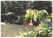 view [Untitled Garden]: Angel's trumpet, ferns and bromeliads in the garden. digital asset: [Untitled Garden]: Angel's trumpet, ferns and bromeliads in the garden.: 1993 Mar.