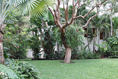 view [La Loma]: a massive staghorn fern grows in a gumbo tree near a wing of the house. digital asset: [La Loma]: a massive staghorn fern grows in a gumbo tree near a wing of the house.: 2014 Apr.