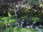 view [Ponte Vedra Dunes]: plantings of swathes of agapanthus, cycads, banana plants and lady ferns under live oak in the driveway island garden. digital asset: [Ponte Vedra Dunes]: plantings of swathes of agapanthus, cycads, banana plants and lady ferns under live oak in the driveway island garden.: 2015 May.