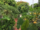 view [Casa del Carnevale]: inside a walled garden there are pygmy date and Bismarck palms, angel's trumpet (brugmansia) spilling over the brick walkway. digital asset: [Casa del Carnevale]: inside a walled garden there are pygmy date and Bismarck palms, angel's trumpet (brugmansia) spilling over the brick walkway.