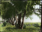 view Orange Grove digital asset: Orange Grove: [between 1914 and 1949?]