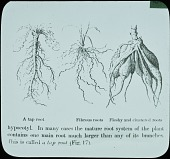 view [Botanical Illustrations]: an illustration of different types of plant roots. digital asset: [Botanical Illustrations]: an illustration of different types of plant roots.: [between 1914 and 1949?]
