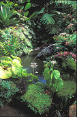 view [Ahuimanu]: small pond with old frog fountain. This portion is rich in maidenhair fern and lava'e fern. digital asset: [Ahuimanu]: small pond with old frog fountain. This portion is rich in maidenhair fern and lava'e fern.: 2001 May.