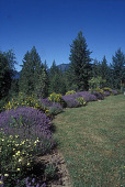 view [Hal and Ruth Hargreaves Garden]: side yard looking east, showing lavender and potentilla border, with forest and mountains in background. digital asset: [Hal and Ruth Hargreaves Garden]: side yard looking east, showing lavender and potentilla border, with forest and mountains in background.: 2006 Aug.