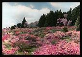 view [Iwasaki Garden]: hillside azalea plantings. digital asset: [Iwasaki Garden]: hillside azalea plantings.: 1935 May.