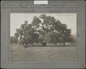 view Audubon Park & Zoological Garden: Quercus (Live Oak), variety Virginiana. This tree is 11 ft. in diameter and has a spread of 175 ft. digital asset: Audubon Park & Zoological Garden [photoprint]