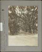 view Audubon Park & Zoological Garden: Quercus (Live Oak), variety Virginiana digital asset: Audubon Park & Zoological Garden [photoprint]