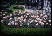 view [Strachan Garden]: detail of the rose garden. digital asset: [Strachan Garden]: detail of the rose garden.: 1966 April 1
