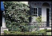 view [Strachan Garden]: flowering shrub on trellis. digital asset: [Strachan Garden]: flowering shrub on trellis.: 1987 October 1