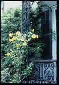 view [Strachan Garden]: flowering yellow Mandevillia on trellis. digital asset: [Strachan Garden]: flowering yellow Mandevillia on trellis.: 1987 October 1