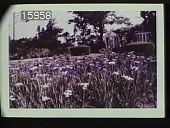 view [The Chimneys]: irises with topiary and a pergola behind them. digital asset: [The Chimneys]: irises with topiary and a pergola behind them.: 1957 Jul.