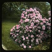 view Holm Lea: Rhododendron (single plant) digital asset: Holm Lea [slide]