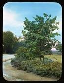 view Arnold Arboretum: Acer Pennsylvanica digital asset: Arnold Arboretum [slide]