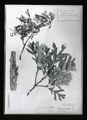 view Arnold Arboretum: herbarium specimen of Quercus alba (white oak) collected from Charlotte, Virginia in 1879. digital asset: Arnold Arboretum [slide]: herbarium specimen of Quercus alba (white oak) collected from Charlotte, Virginia in 1879.
