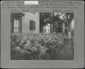 view [Chase Garden]: ostrich fern bed at the side of the George B. Chase home on Lafayette Avenue in Salem, Massachusetts. digital asset: [Chase Garden] [Photographic print]: ostrich fern bed at the side of the George B. Chase home on Lafayette Street in Salem, Massachusetts.