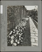 view Faulkner Farm: Tulips Darwin, 'Gretchen' digital asset: Faulkner Farm [photoprint]