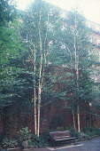 view [The Capitoline Garden, Cobb House Condominium]: birches, which help screen the garden from the windows of nearby buildings. digital asset: [The Capitoline Garden, Cobb House Condominium]: birches, which help screen the garden from the windows of nearby buildings.: 2006 Sep.