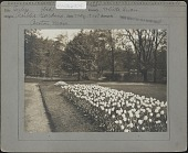 view [Boston Public Garden]: 'White Swan' tulips, with the Lagoon in the background. digital asset: [Boston Public Garden] [photographic print]: 'White Swan' tulips, with the Lagoon in the background.