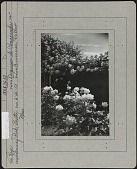 view [James P. Kelleher Rose Garden]: 'American Pillar' and the hybrid tea rose 'Duquesa de Penaranda'. digital asset: [James P. Kelleher Rose Garden] [photographic print]: 'American Pillar' and the hybrid tea rose 'Duquesa de Penaranda'.