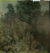 view Thompson Garden: a dense thicket of trees and bushes alongside a creek. digital asset: Thompson Garden: a dense thicket of trees and bushes alongside a creek.: [1928?]