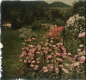 view Thompson Garden: foxgloves and other flowers in bloom. digital asset: Thompson Garden: foxgloves and other flowers in bloom.: [1928?]