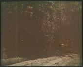 view Thompson Garden: dirt road cuts a path through the forest. digital asset: Thompson Garden: dirt road cuts a path through the forest.: [1928?]