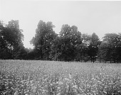 view [Maryland State Normal School (Towson University)]: daisy-filled field and trees on what would become the campus. digital asset: [Maryland State Normal School (Towson University)] [glass negative]: daisy-filled field and trees on what would become the campus.