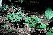 view [Hubbard Garden]: Pachysandra procumbens. digital asset: [Hubbard Garden]: Pachysandra procumbens.: 1996 May.