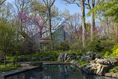view [Clare and Van Stewart Garden]: Boulders stacked alongside the pool. Redbuds blooming in the woodland garden. digital asset: [Clare and Van Stewart Garden]: Boulders stacked alongside the pool. Redbuds blooming in the woodland garden.: 2018 May 1