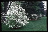 view [Kummer Garden]: woodland garden: 'Cloud 9' dogwoods and white pine. digital asset: [Kummer Garden]: woodland garden: 'Cloud 9' dogwoods and white pine.: 1998 Apr.