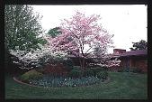 """view [Kummer Garden]: south garden: pink dogwoods, """"Cloud 9"""" dogwoods, boxwood, and iris. digital asset: [Kummer Garden]: south garden: pink dogwoods, """"Cloud 9"""" dogwoods, boxwood, and iris.: 1998 Apr."""