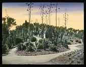 view [Miscellaneous Sites in Mexico]: a cactus garden in an unidentified location. digital asset: [Miscellaneous Sites in Mexico]: a cactus garden in an unidentified location.: 1937 Jan.