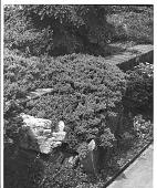 "view [Laurelwood Arboretum]: Juniper procumbens ""Nana Glauca"" growing over brick wall. digital asset: [Laurelwood Arboretum] [photoprint]: Juniper procumbens ""Nana Glauca"" growing over brick wall."