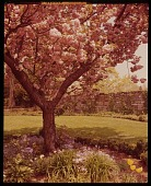 view [Low Garden]: flowering cherry underplanted with spring flowers; stone wall beyond. digital asset: [Low Garden] [film transparency]: flowering cherry underplanted with spring flowers; stone wall beyond.
