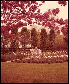 view [Millar Garden]: garden border and flowering tree in spring. digital asset: [Millar Garden] [film transparency]: garden border and flowering tree in spring.