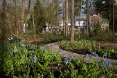 view [New Jersey Woodland Property]: Virginia bluebells grow in the designed woodland garden. digital asset: [New Jersey Woodland Property]: Virginia bluebells grow in the designed woodland garden.: 2009 Apr.