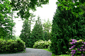 view [Grey House]: hedges of rhododendron, a weeping cedar and tall western arborvitae conceal the parking area. digital asset: [Grey House]: hedges of rhododendron, a weeping cedar and tall western arborvitae conceal the parking area.: 2015 Jun.