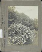 view Van Cortlandt Manor: Rose, Mme. Plantier digital asset: Van Cortlandt Manor [photoprint]