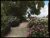 view [Mount Gulian]: peonies in the garden, planted in the early 19th century. digital asset: [Mount Gulian]: peonies in the garden, planted in the early 19th century.: [between 1900 and 1931]