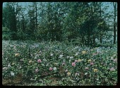 view [Willowmere]: part of the rose garden. digital asset: [Willowmere]: part of the rose garden.: [1914]