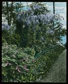 view [Willowmere]: wisteria. digital asset: [Willowmere]: wisteria.: [1914]