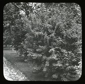 view [Willowmere]: an unidentified shrub. digital asset: [Willowmere] [lantern slide]: an unidentified shrub.
