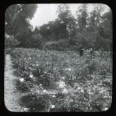 view [Willowmere]: the rose garden. digital asset: [Willowmere] [lantern slide]: the rose garden.