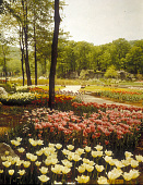 view [Sterling Forest Gardens]: tulips in spring. digital asset: [Sterling Forest Gardens]: tulips in spring.: 1985 May.