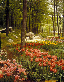 view [Sterling Forest Gardens]: spring bulbs in wooded setting. digital asset: [Sterling Forest Gardens]: spring bulbs in wooded setting.: 1985 May.